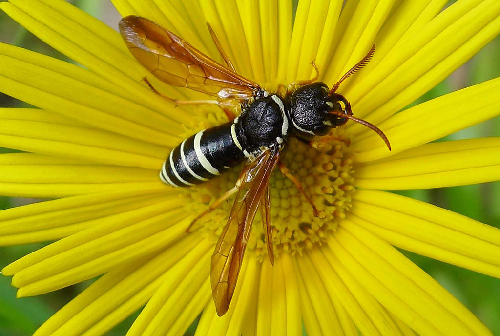 Sawfly with a black-and-cream-colored abdomen sitting in the center of a yellow flower.