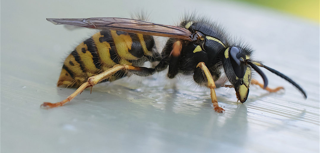 "Notice this wasp's skinny ""waist"". (Magnus Johansson  / Flickr; cc by 2.0)"