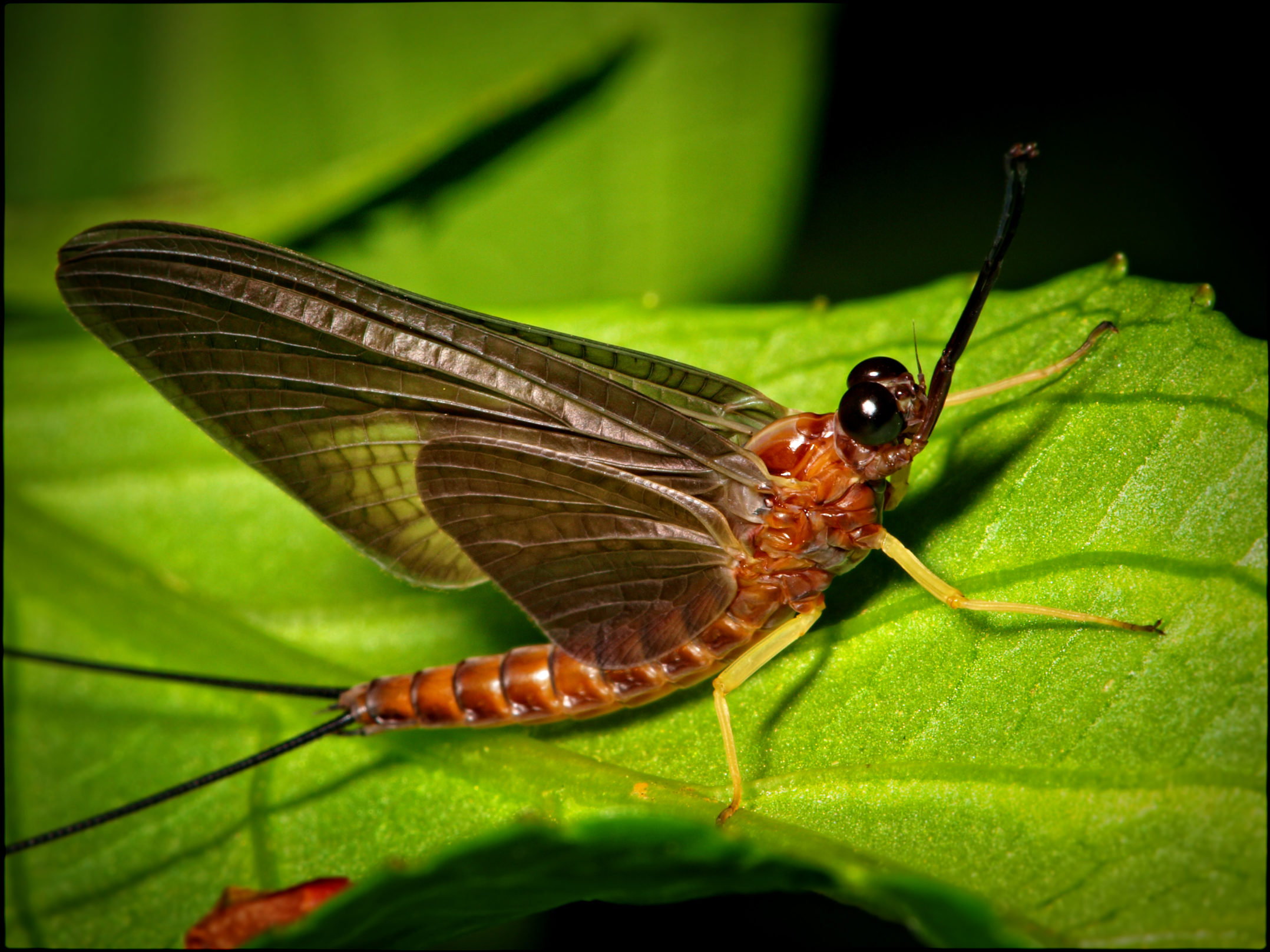 Image result for Mayflies