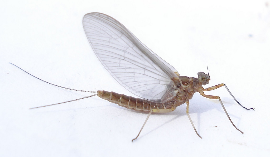 Insects In Your Yard Mayflies Welcome Wildlife