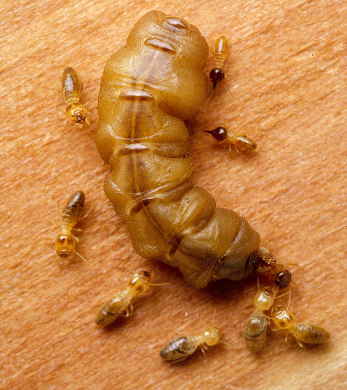 Fertile queen termite with workers and soldiers, Nasutitermes exitiosus. (photo: CSIRO; cc by 3.0)