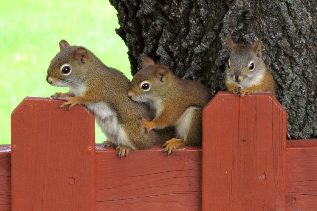Female American Red Squirrel, called a pine squirrel, and her two babies standing side-by-side on the top of a red fence.
