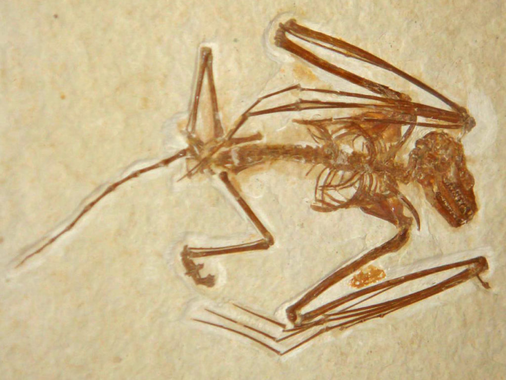 A reddish-brown fossil of the bat species Icaronycteris index imbedded in tan colored stone.