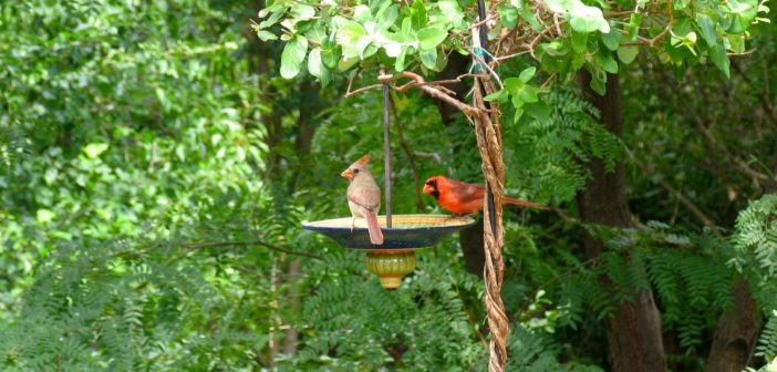 Image of a Northern Cardinal pair eating birdseed on a bird feeder.