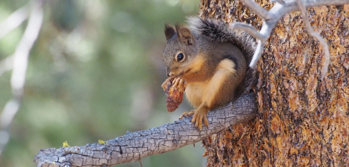 Douglas Squirrel, one of the so-called pine squirrels, sitting on the branch of a pine tree while eating seeds of a pinecone.