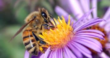 Close up of a European Honeybee, Apis mellifera, drawing nectar from the golden center of a purple-colored aster flower.