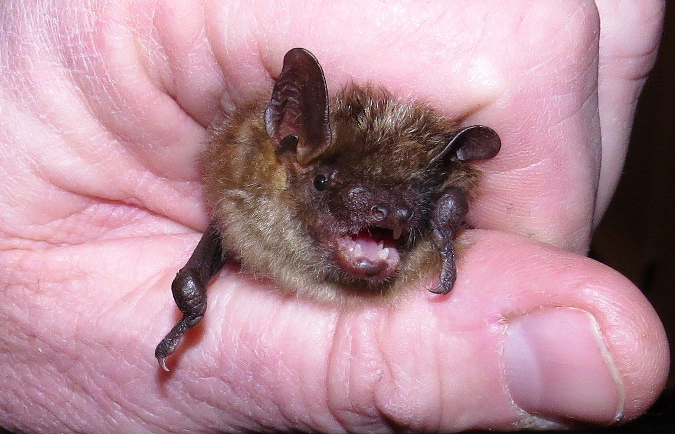 All about bats: beneficial, placid, victims of myths