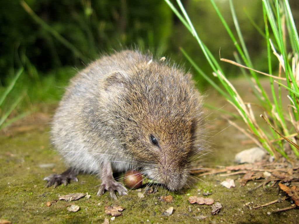 Meadow Vole standing on the ground.