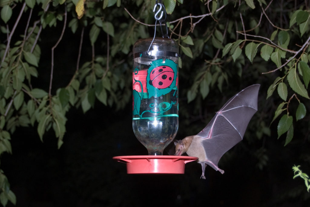 Mexican Long-tongued Bat, Choeronycteris mexicana, drinking nectar from a hummingbird feeder.