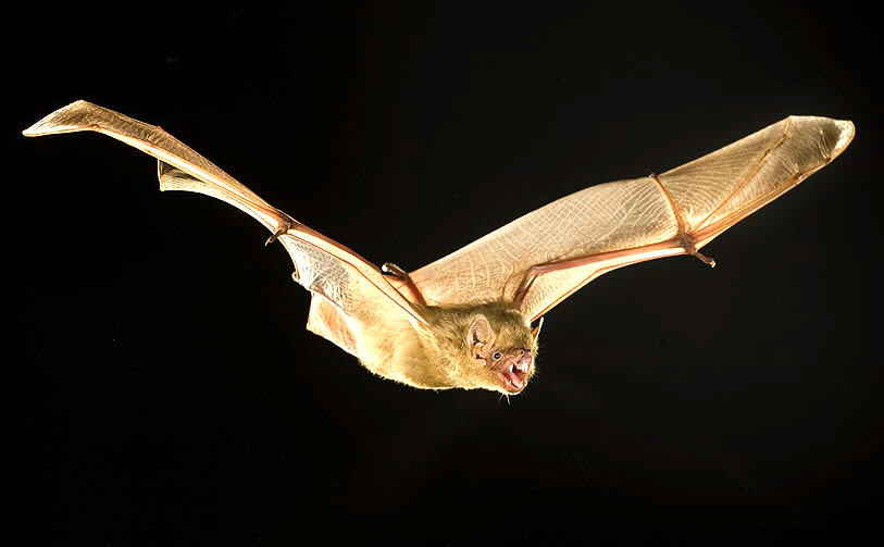 Northern Yellow Bat, Lasiurus intermedius, in flight.