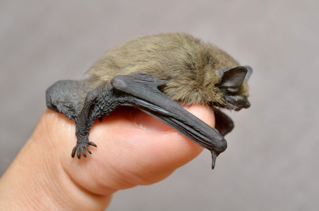 Common Pipistrelle Bat, Pipistrellus pipistrellus, lying on a man's thumb.