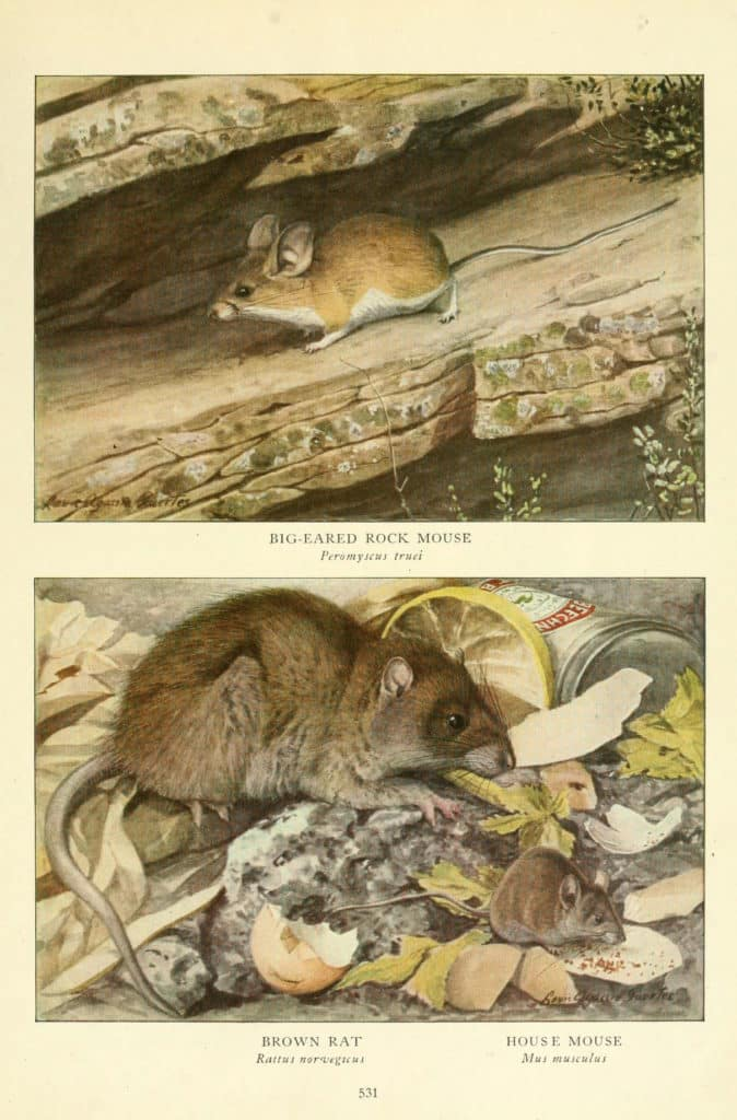 Color drawing from an old book showing size and appearance comparisons between a Brown Rat, House Mouse and Rock Mouse.