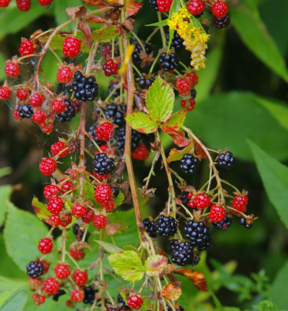 Allegheny Blackberry. (Dan Mullen / Flickr; CC BY-NC-ND 2.0)