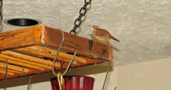 Carolina Wren standing on top of a pot rack in a kitchen.