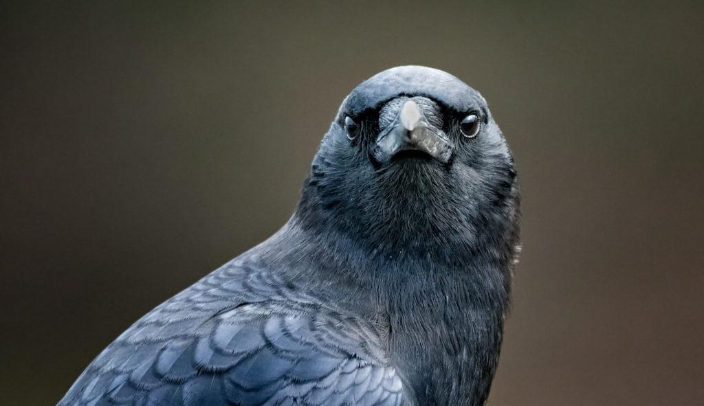 American Crow, Corvus brachyrhynchos, facing the camera.