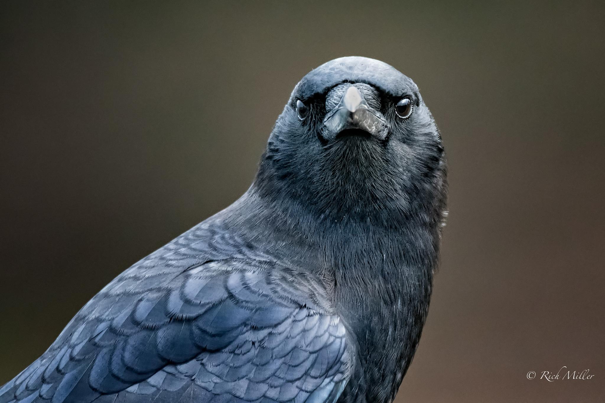 Worlds Smartest Birds Welcome Wildlife - Bird map of the us crows