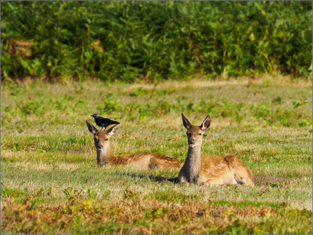 Two deer lying in grass and one has a Jackdaw perched on the top of its head.