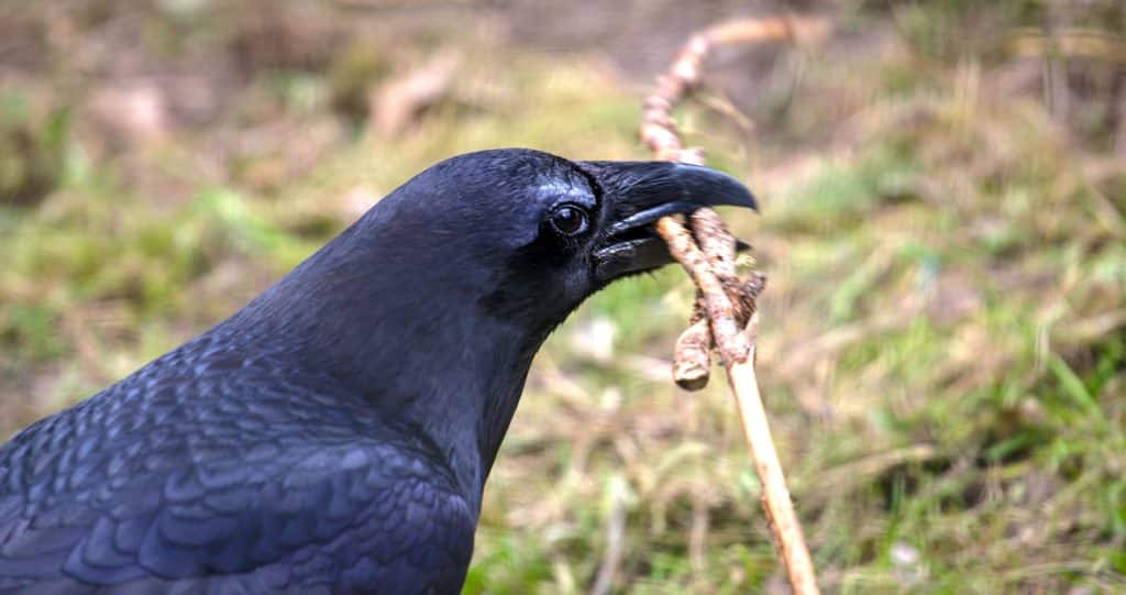 Raven bird holding a twig in its beak.