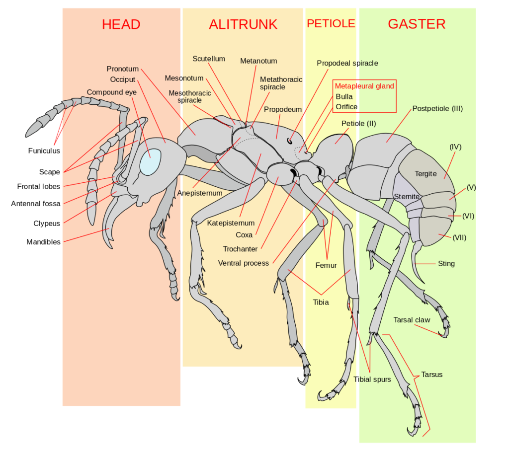 Drawing of the anatomy of an ant, with labels.