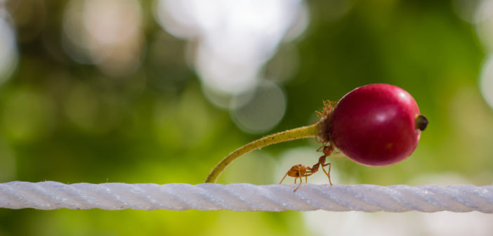Red ant carrying a large berry in its jaws while walking across a white rope.