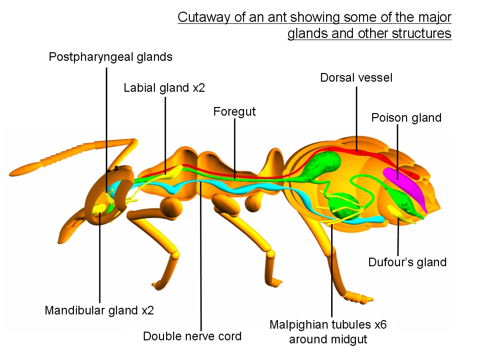 Color illustration of the internal anatomy of an ant, showing the glands.