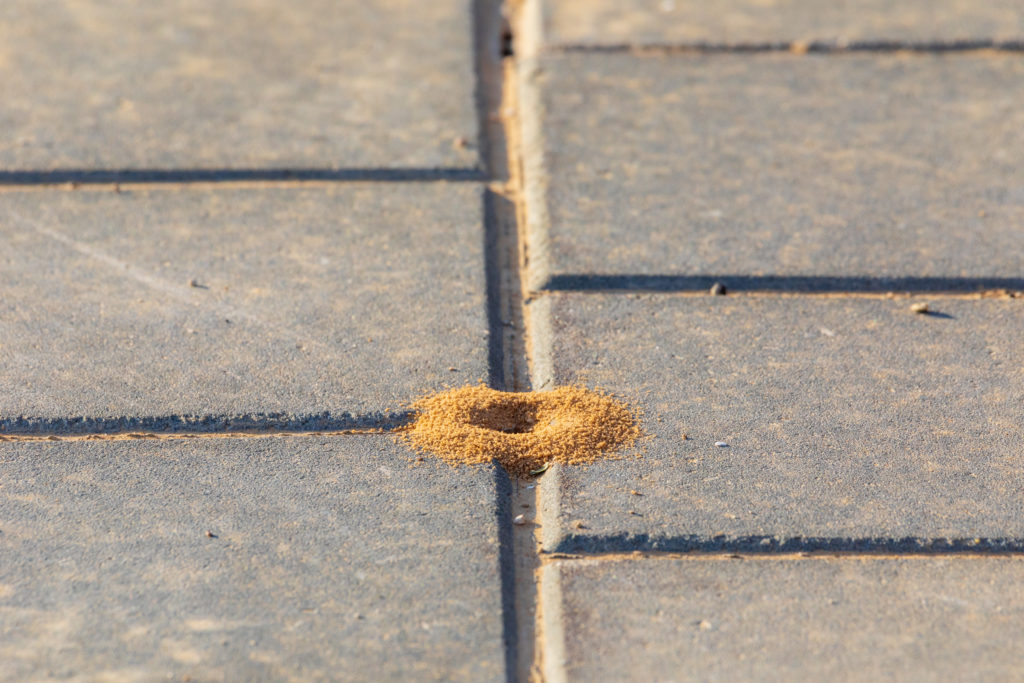 Small golden-colored anthill located between two paving stones.