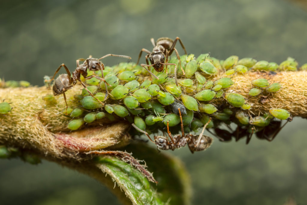 Three ants on a plant stem with a group of green aphids.