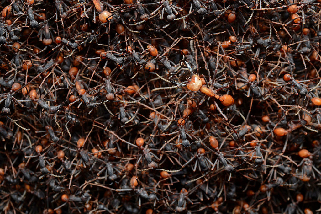 A mass of hundreds of Army Ants ilinked to each other in a bivouac.