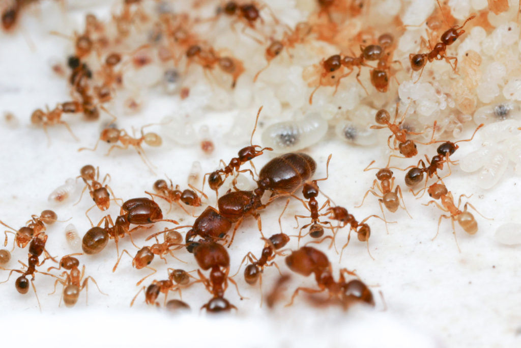 Queen, soldier and worker Big-headed ants, Pheidole californica, standing on a white background.