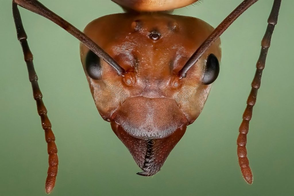 Close up image of a queen ant's head.