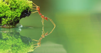 Red ant stretching toward water.