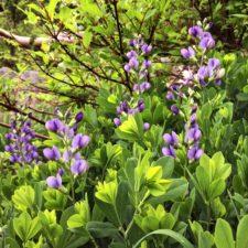 Blue False Indigo plant in bloom