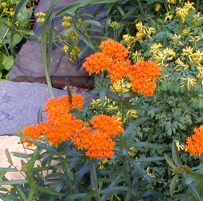 Butterfly weed plant in bloom growing amongst Yellow Corydalis, also in bloom