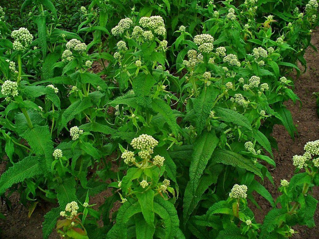 Common Boneset plant in bloom