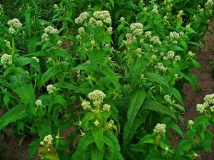 Common Boneset plant in bloom