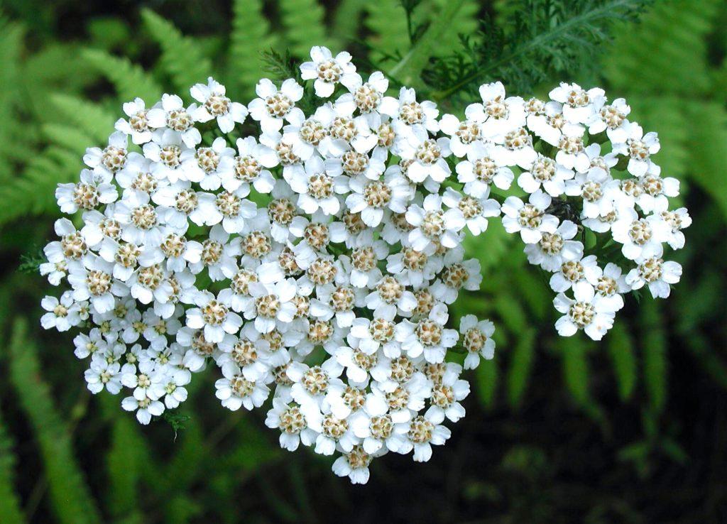 Common Yarrow blossoms
