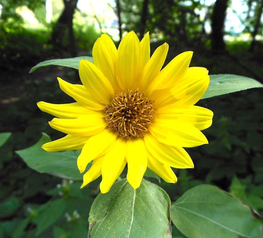 Common sunflower blossom
