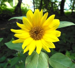 Common sunflower blossom