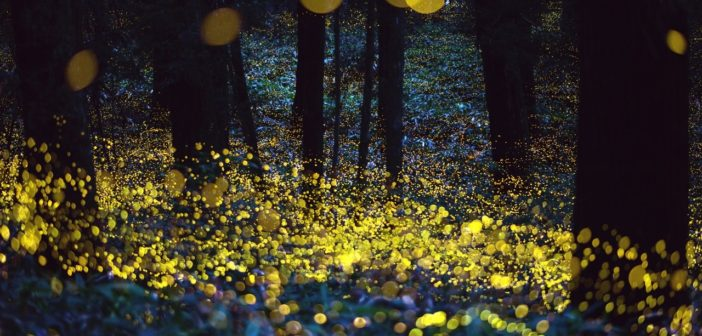 In your yard: fireflies