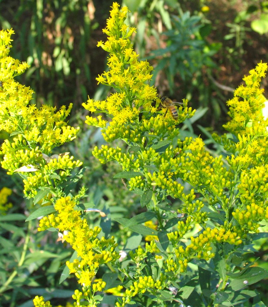 Golden Rod plant in bloom with bright yellow flowers.