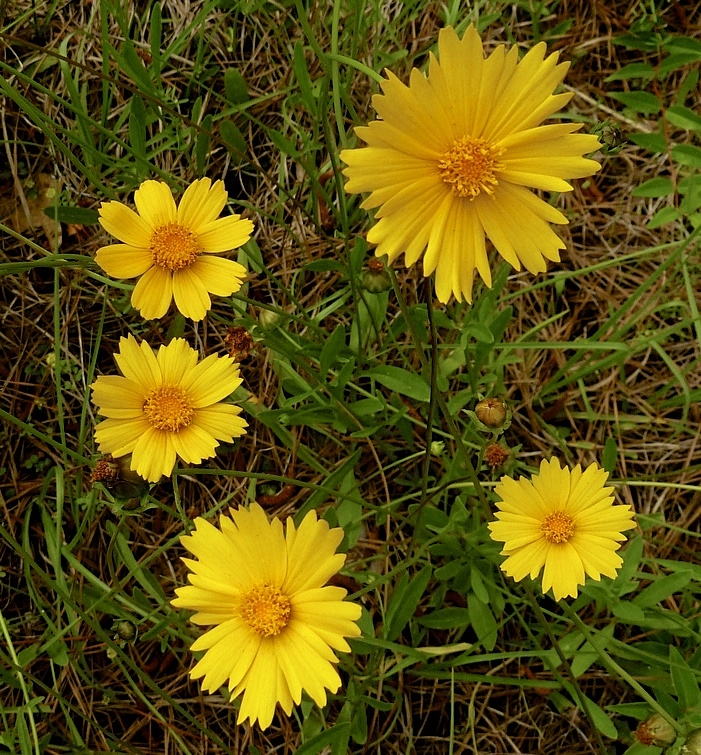 Lanceleaf coreopsis plant in bloom