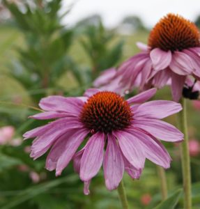 Purple coneflower blossom
