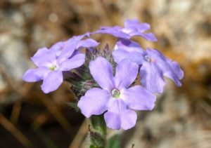 Southwestern mock vervain blossoms