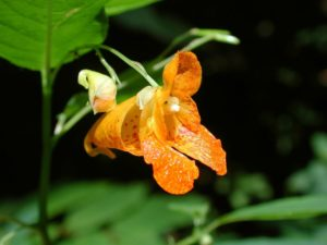 Spotted jewelweed blossom