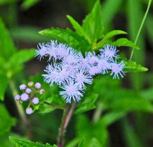 wild ageratum blossom