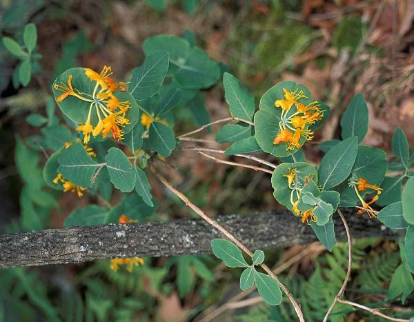 Native Yellow honeysuckle in bloom