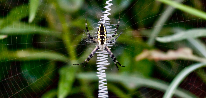 Female Black and yellow Garden Spider, Argiope aurantia, hanging head-down in the center of her web.
