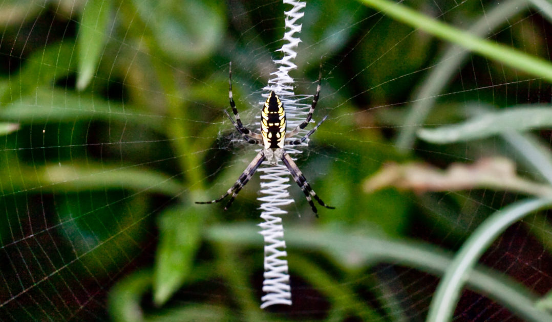 Female Black And Yellow Garden Spider, Argiope Aurantia, Hanging Head Down  In The