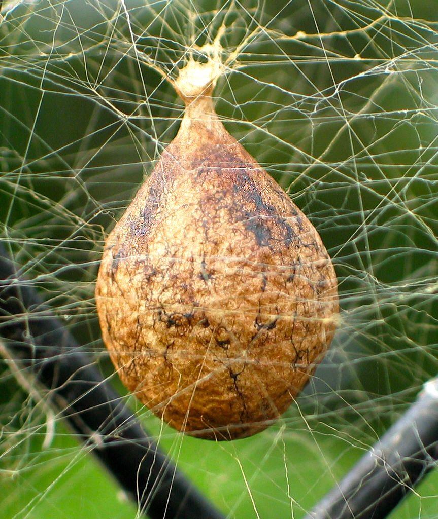 Argiope aurantia egg sac