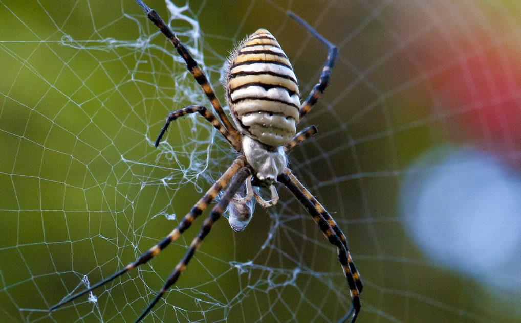 Banded Garden Spider, Argiope trifasciata